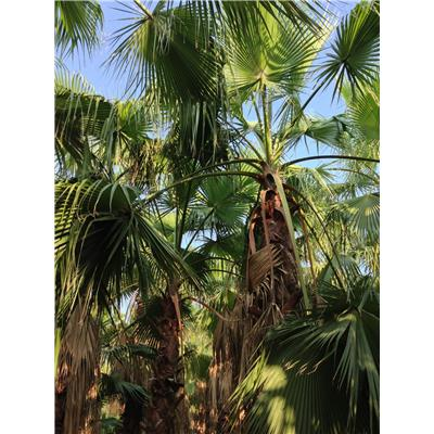 Best Palm Palmiye-Washingtonia Robusta Peyzaj